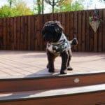 dog on a trex deck